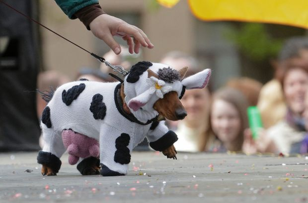 A woman walks with her dachshund dressed as a cow during a dachshund parade in St.Petersburg, Russia.