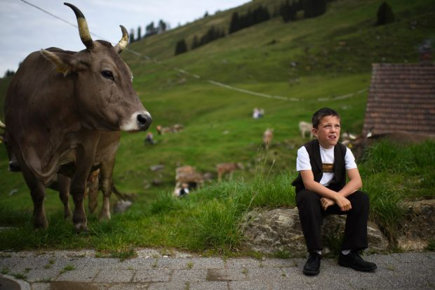 "A boy and cow look on after the ""Alpfahrt""  the ceremonial driving of cattle to the alps   in Urnaesch, canton of ..."