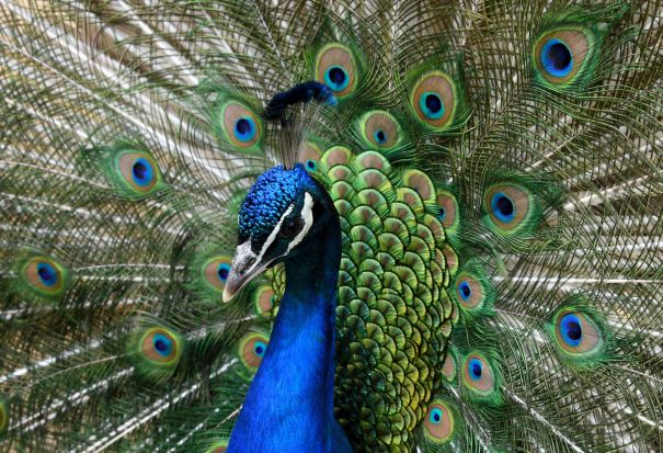 A peacock presents its colorful feathers in the Rose Garden of the peacock island in Berlin, Germany.