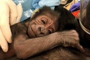 This photo provided by the Philadelphia Zoo shows a newly born western lowland gorilla resting on its mother Kira in ...