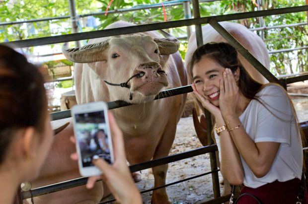 A woman poses for a photograph with an albino water buffalo after feeding it at the Wat Hua Lamphong temple in Bangkok, ...