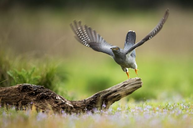 A Cuckoo flies from a perch in woodland on Thursley Common in England.