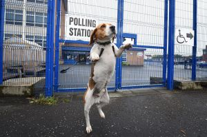 Toby, a beagle cross waits for his master outside a polling station in Belfast.