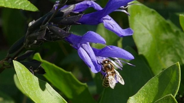 The impact of insecticides on honey bees is one of the concerns driving Sustainable Gardening Australia's proposed app.