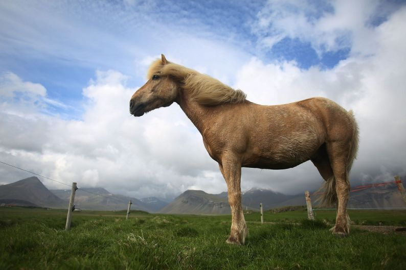 A horse roams in a pasture in Hofn, Iceland. Iceland's tourism industry continues to thrive; just eight years ago ...