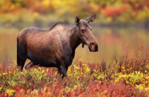 An adult female moose grazing amid autumn foliage by the Dempster Highway.