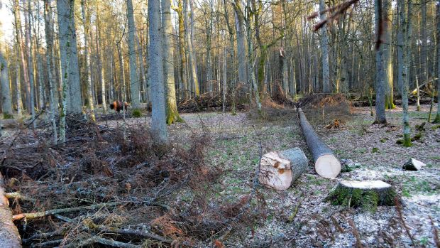 With ClientEarth's groundwork, the EU has instructed Poland to stop logging Europe's last primeval forest, the ...