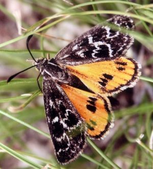 The golden sun moth has habitats in pockets of Yarralumla.