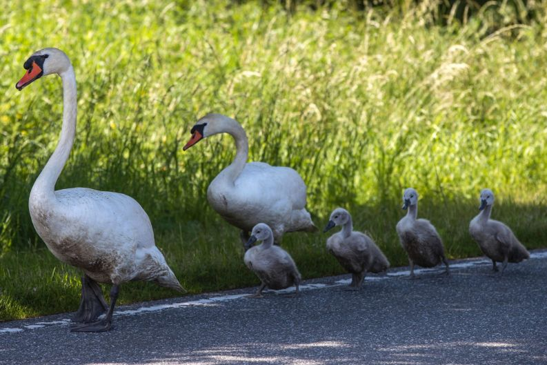A swan family with four chicks walks on a county road near Bobitz, northern Germany.