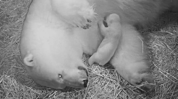 The polar bear cub at Sea World on the Gold Coast takes its first steps.