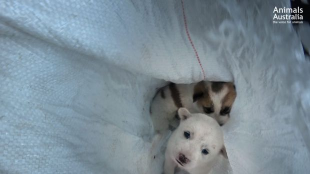 Puppies trapped in a bag.
