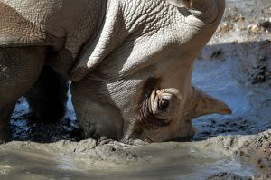 Loulou, a white rhinoceros, buries here horn in the mud to keep cool at the Phoenix Zoo, Monday, June 19, 2017, in ...