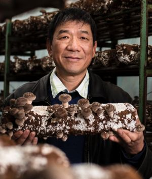 Owner Peng Hui with a shiitake mushroom log inside one of the greenhouses.