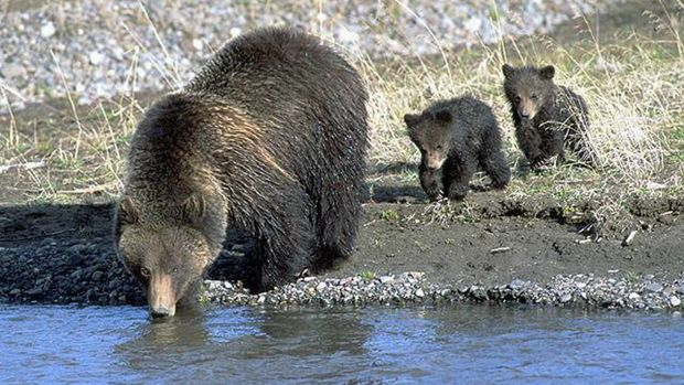 Interior Department To Remove Yellowstone Grizzly From Endangered Species List