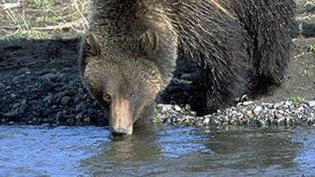 A mother grizzly and her cubs at a stream in Yellowstone National Park (National Park Service) -- EDITORIAL USE ONLY -- .
