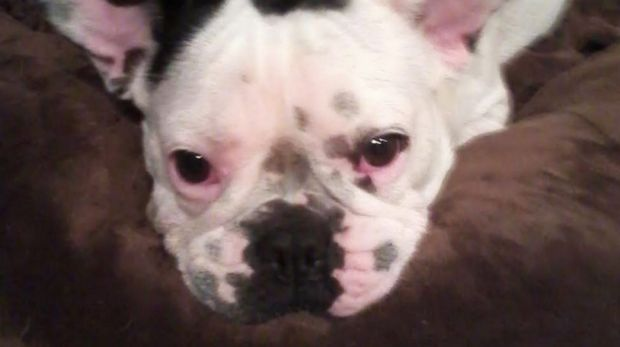 Julie Saunderson had to put her French bulldog Daisy to sleep because she suffered from terrible back pain common to the ...