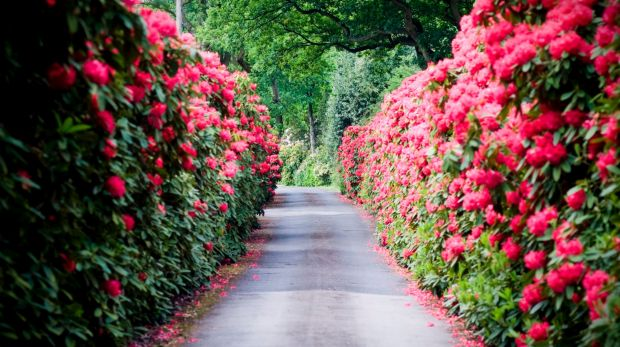 A flowering hedge offers a colourful alternative to the traditional green options.