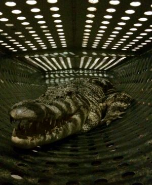 A crocodile captured from the Daintree.