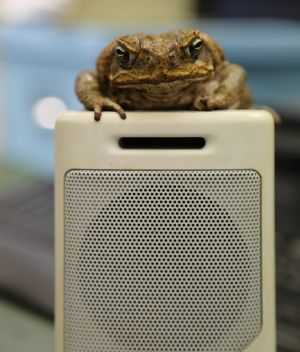 Female cane toads are attracted to low frequency, high pulse rate mating calls a study has found.