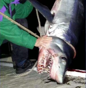 "Shark expert Culum Brown described the shark's presence in Sydney harbour as ""strange""."