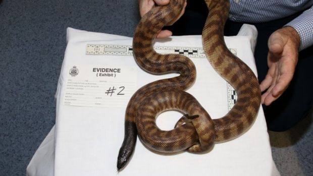 Police have seized $160,000 worth of protected species, including a black-headed python.