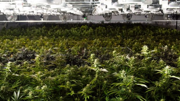 Marijuana plants in Quincy, Massachusetts. Legislators there are trying to rewrite a law passed by voters that legalised ...