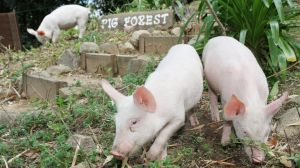 "The ""pig forest"" at Farm Animal Rescue. The charity has been told by TMR to pay $300,000 or it can no longer have visitors."