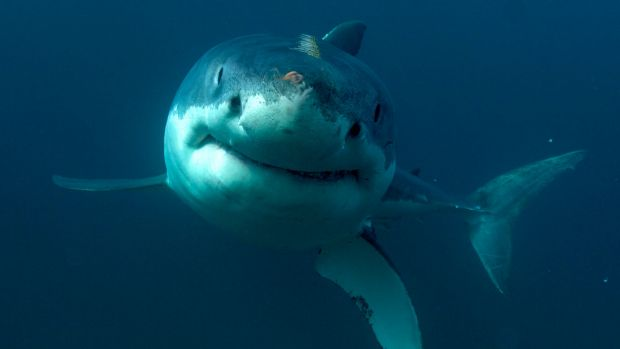 The research would have informed Australian organisations about the presence of great white sharks off the WA coast.