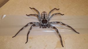 A giant huntsman spider triggered the fear of Poms everywhere.