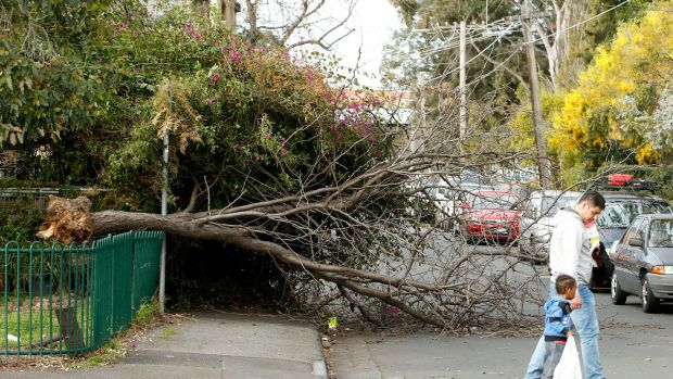 An uprooted tree in Collingwood on July 29.