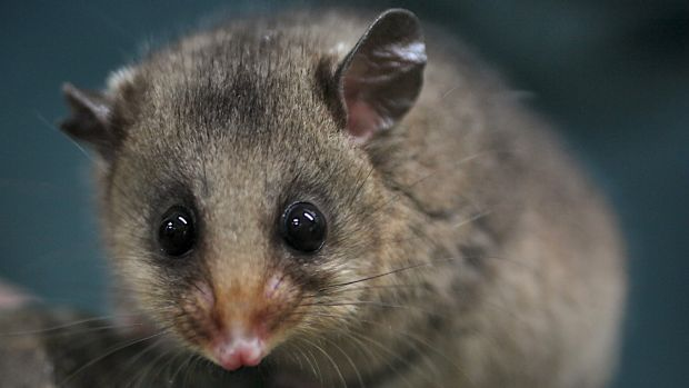 As few as 2600 mountain pygmy possums remain in the wild.