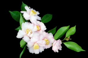 Camellias Victoria was founded in the 1950s to promote camellia knowledge after the flowers came back into fashion.