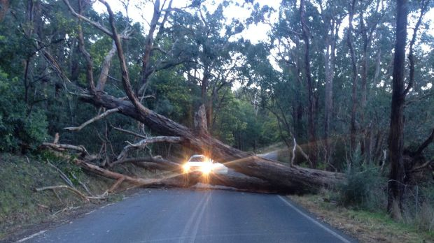 A giant tree down in Nar Nar Goon North after severe winds across Victoria on August 10.