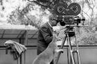 Mr E. Bierne from Movietone News, gets some assistance from a kangaroo during the making of a newsreel on 27 November ...