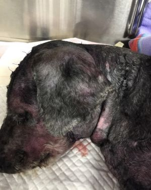 Poodle JP following a mauling from two pit bulls in Coombs.