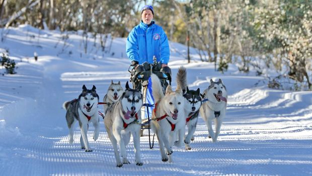 Markus Israng with his dogs at the Dinner Plain Sled Dog Challenge near Mount Hotham.