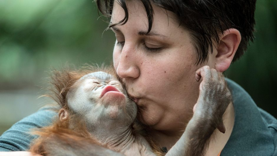 "Zoo keeper Eva Ravagni holding the 2.5-month old Borneo Orangutan baby ""Hujan"" in her arms in Krefeld, Germany, Tuesday, ..."