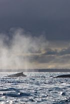 A competitive group or heat run of humpback whales in the Haapai group of Tonga.