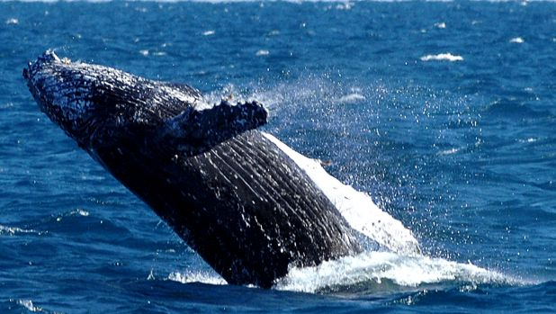 Asset Energy planned to do seismic testing during the peak humpback whale migration season.