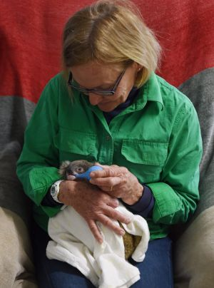 Alaine Anderson feeds a rescued koala near Croppa Creek - a region of northern NSW that has seen extensive land ...