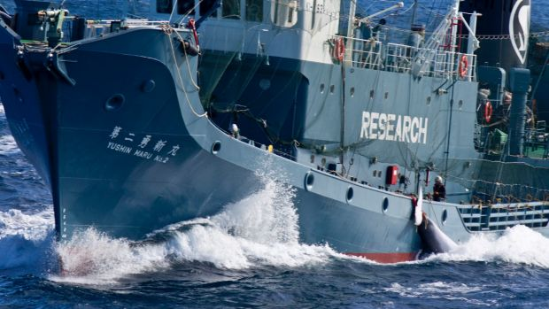 Anti-Whaling Group Throws in Towel Against Japan-for Now