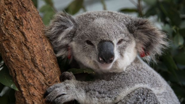 Koala populations are under siege in many parts of NSW, including the far north coast of NSW.