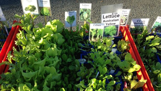 Lettuce seedlings on the Kerrs' stall at Jamison Rotary Markets.