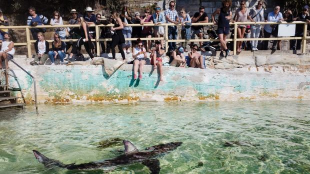 The shark was placed in the pool by staff from Manly Sea Life Sanctuary.