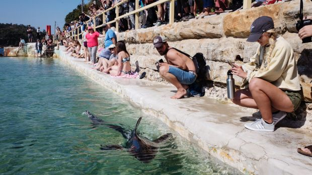 Great white shark rescued, goes for a swim in Manly pool