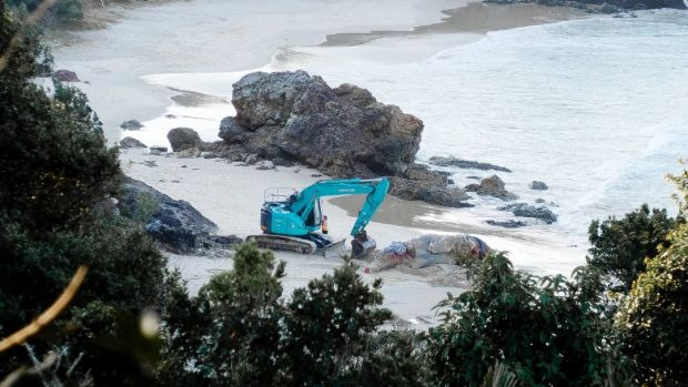 Rotting whale dug out of NSW beach after Great Whites come hunting