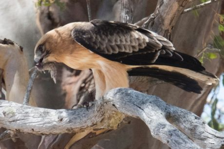 The public can now get a fascinating look at Canberra's little eagle with live streaming from a nesting site in West ...