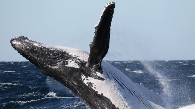 A humpback whale breaching off the NSW coast.