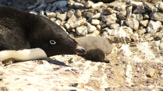 An Adelie penguin with its dead chick.