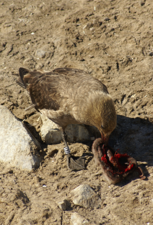 A dead Adelie penguin chick is food for another bird.